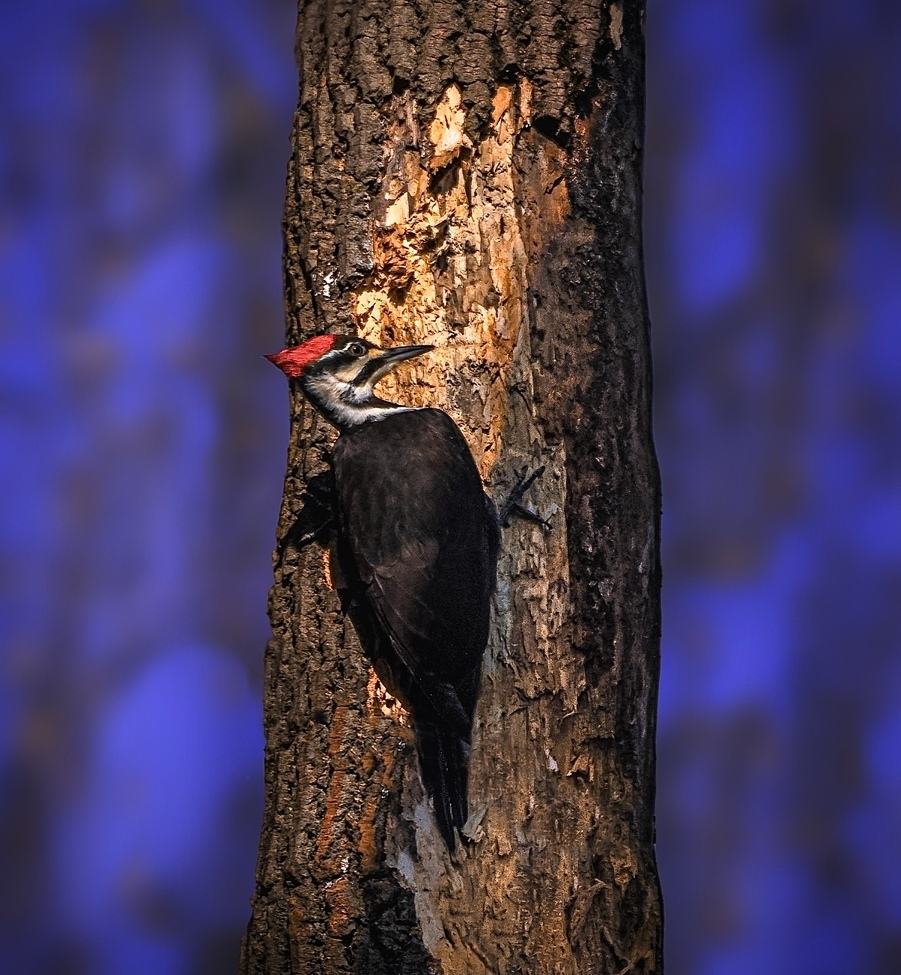 Woodpecker, Woodpeckers, Pennsylvania, Pileated Woodpecker, Images of Pileated Woodpeckers,
