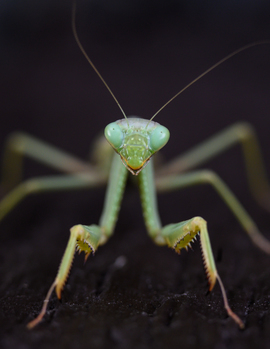 Praying Mantis, Mantis, Images of Praying Mantis, Praying Mantis Photos, Los Angeles,