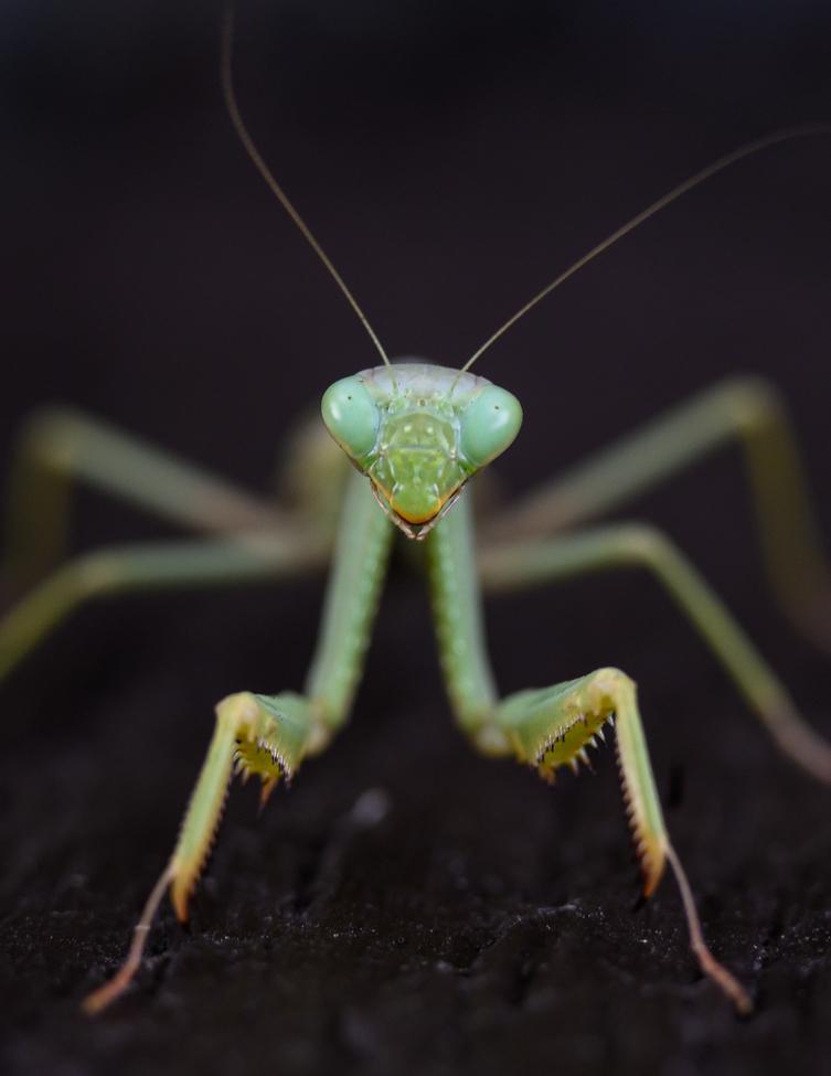 Praying Mantis, Mantis, Images of Praying Mantis, Praying Mantis Photos, Los Angeles,