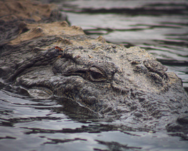 Crocodile, Crocodiles, India,