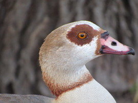 Goose, Egyptian Goose, Geese, Egyptian Geese, San Antonio,Texas, Images of Egyptian Geese, Egyptian Goose Photos