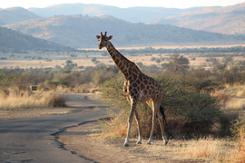 Grid giraffe in pilanesberg original