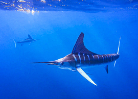 Marlin, Sardines, Baja California, Images of Marlin, Marlin Photos