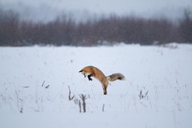 Fox, Red Fox, Wyoming. Grand Teton National park, Images of Red Foxes, Red Fox Photos