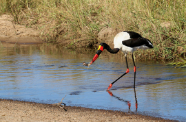 Stork, Storks, Saddle-Billed Stork, Saddle-Billed Storks, Images of Storks, Saddle-Billed Stork Photos, Birding