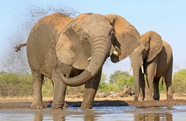 Elephant, Elephants, Botswana, African Elephants, Images of Elephants, Elephant Photos