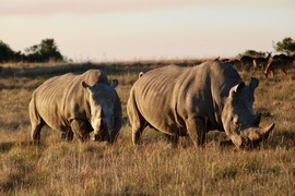 Grid south africa white rhinos
