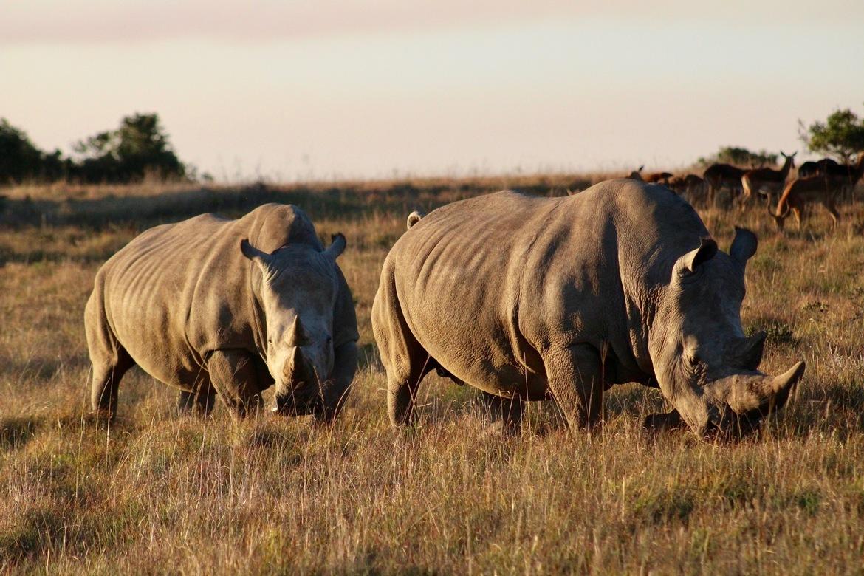 Rhinos, White Rhinos, African White Rhinos, Rhino, White Rhino, Zambia, Images of White Rhinos, White Rhino Photos