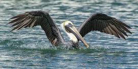 Pelican, Pelicans, Florida, Birding, Brown Pelican, Images of Pelicans, Pelican Photos