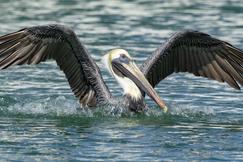 Pelican, Pelicans, Florida, Birding, Brown Pelican, Images of Pelicans, Pelican Photos