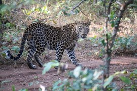 Leopard, Leopards, India, Images of Leopards, Leopard Photos