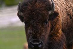 Bison, American Bison, Montana, Photos of Bison, Bison Images