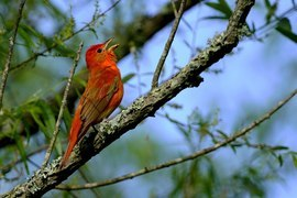 Grid bb 00 summer tanager yates 5 6 2019 7 18 26 am