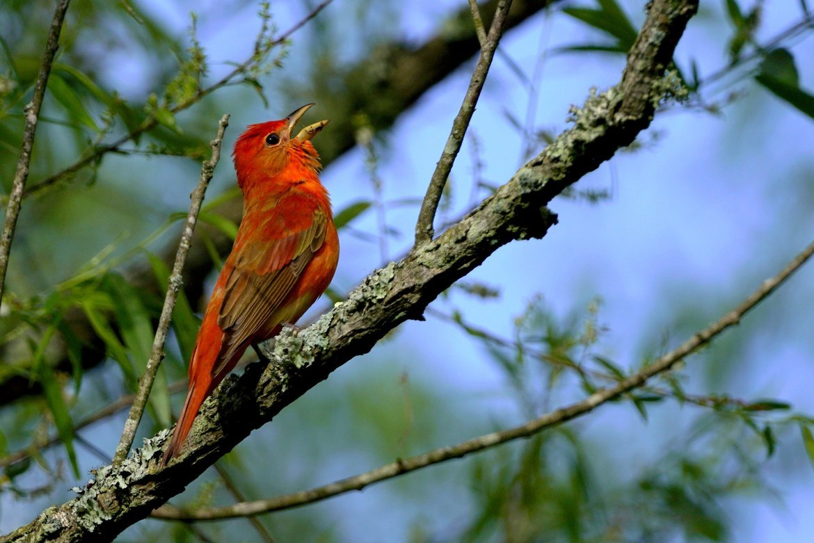 Tanager, Tanagers, Birding, Florida, Images of Tanagers, Tanager Photos