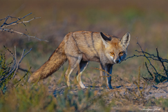 White Footed Fox, Fox, Foxes, India, Images of Foxes, White Footed Fox Photos