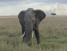 Elephant, Elephants, Kenya, Images of Elephants, Elephant Photos, Masai Mara National Park,
