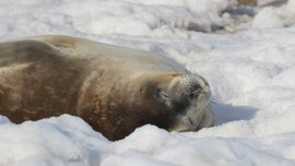 Seal, Seals, Weddell Seal, Weddell Seals, Antarctica, Images of Weddell Seals, Weddell Seal Photos