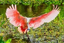 Spoonbill, Roseate Spoonbill, Birding, Florida, Photos of Spoonbills, Roseate Spoonbill Images