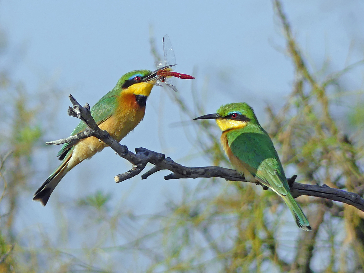 Bee Eaters, Bee Eater, Dragonfly, Birding, Botswana, Photos of Bee Eaters, Bee Eater Images