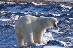 Polar Bear, Bears, Churchill, Polar Bears, Canada, Images of Polar Bears, Polar Bear Photos