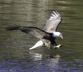 Eagle, Eagles, Bald Eagle, Bald Eagles, Sullivan County, Birding, Photos of Bald Eagles, Bald Eagle Images