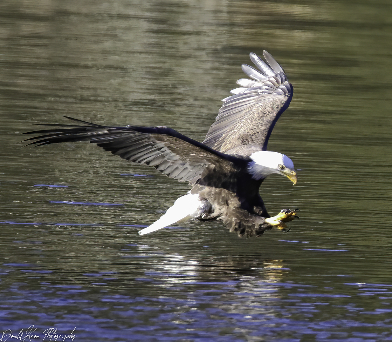 Eagle, Eagles, Bald Eagle, Bald Eagles, Sullivan County, Birding, Photos of Bald Eagles, Bald Eagle Images