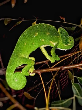 Chameleon, Chameleons, India, Photos of Chameleons, Chameleon Images