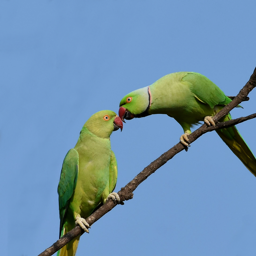 Parakeet, Parakeets, India, Birding, Images of Parakeets, Parakeet Photos