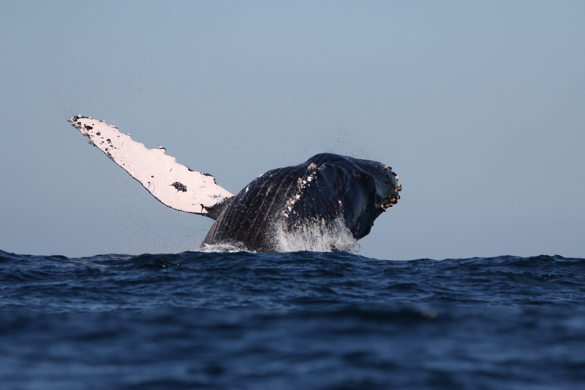 Whales, Whale, Humpback Whales, Humpback Whale, Mexico, Photos of Whales, Humpback Images