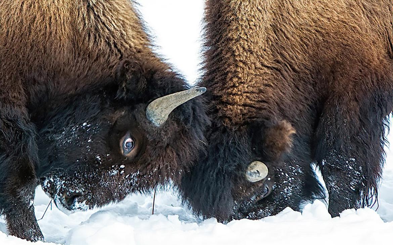 Bison, Buffalo, American Buffalo, Yellowstone National Park, Montana, Images of Bison, Bison Photos