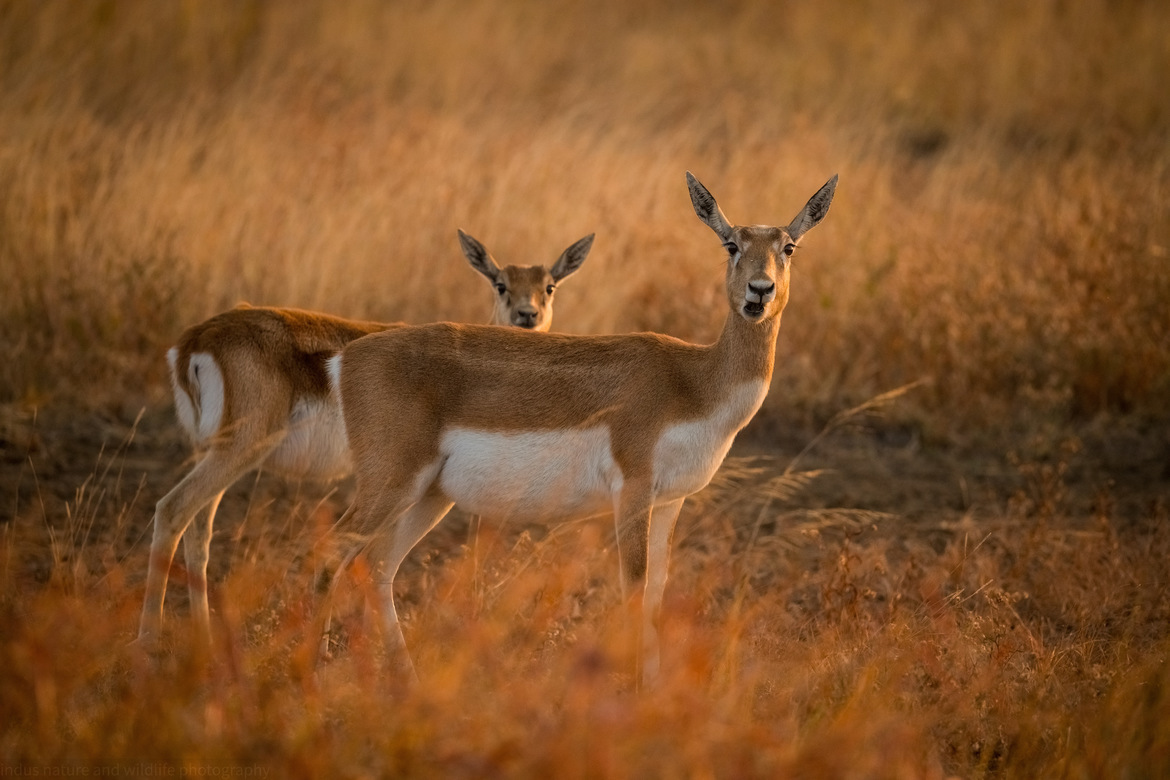 black buck, black buck photos, black bucks in India, India wildlife, wildlife in India, antelope in India