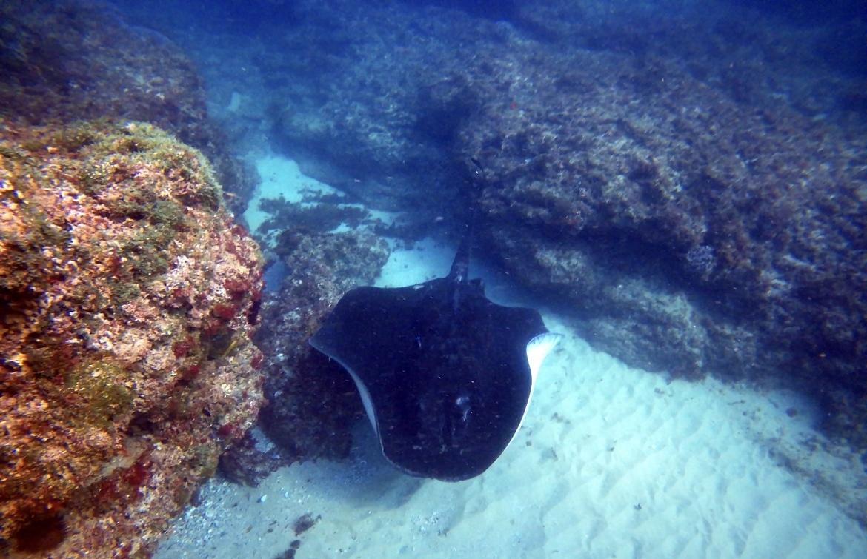 Rays, Ray, Bull Ray, Bull RAys, Australia, Images of Rays, Bull Ray Photos