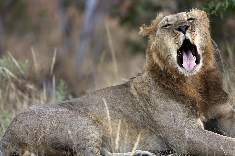Lion, Botswana, Botswana safari, Botswana lion, Botswana wildlife, Botswana wildlife images, lion images, Botswana safari photos