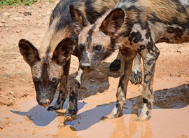 Wild Dogs, Wild Dog, Tanzania, Photos of Wild Dogs, Wild Dog Images