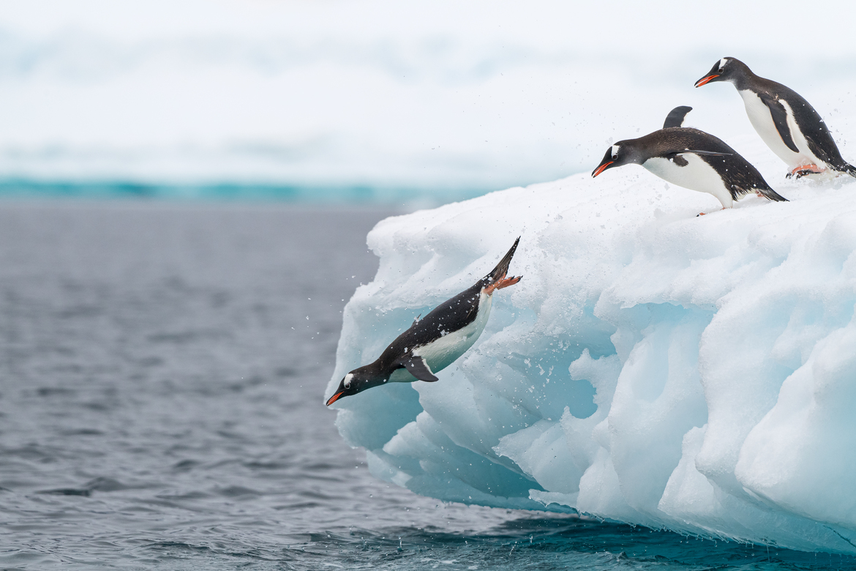 Penguin, Penguins, Gentoo Penguins Images of Penguins, Penguin Photos, Antarctica
