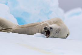 Seals, Crabeater Seal, Crabeater Seals, Antarctica, Images of Crabeater Seals, Crabeater Seal Photos