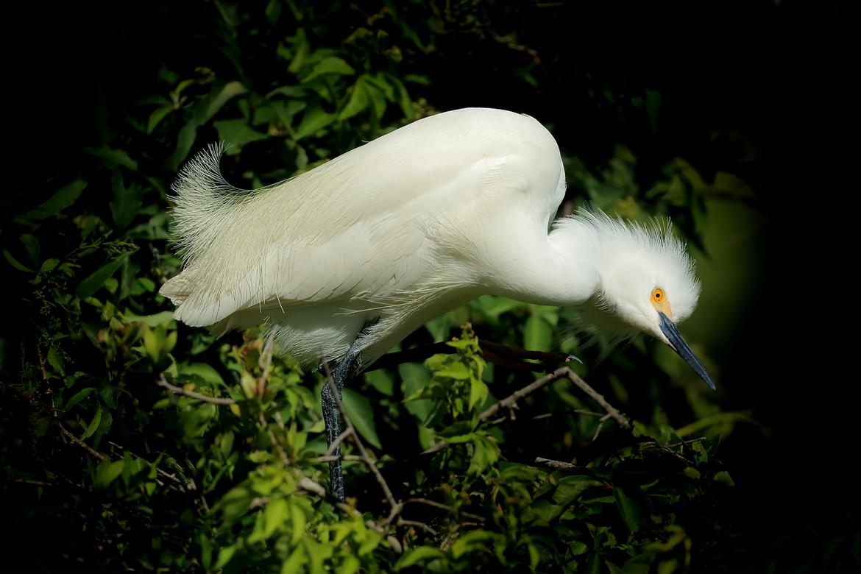 Birding, Egret, Snowy Egret, Snowy Egrets, Images of Snowy Egrets, Snowy Egret Photos