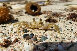 Crab, Crabs, Sand Crab, Sand Crabs, Aruba, Daimari Beach, Images of Crabs Sand Crab Photos