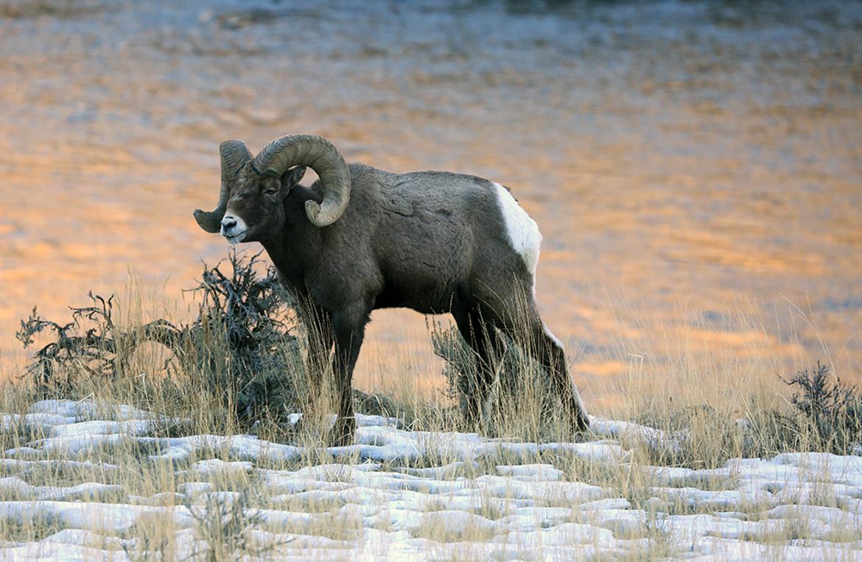 Bighorn Sheep, Montana, Images of Bighorn Sheep, Bighorn Sheep Photos