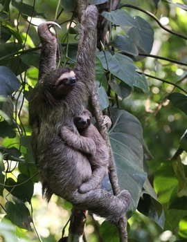 Sloth, Sloths, Three-Toed Sloth, Three - Toed Sloths, Panama, Images of Sloths, Three Toed Sloth Photos