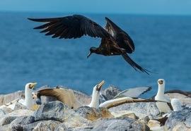 Birding, Frigatebird, Frigatebirds, Galapagos Islands, Espanola Island, Nazca Booby, Images of Frigatebirds, Frigatebird Photos