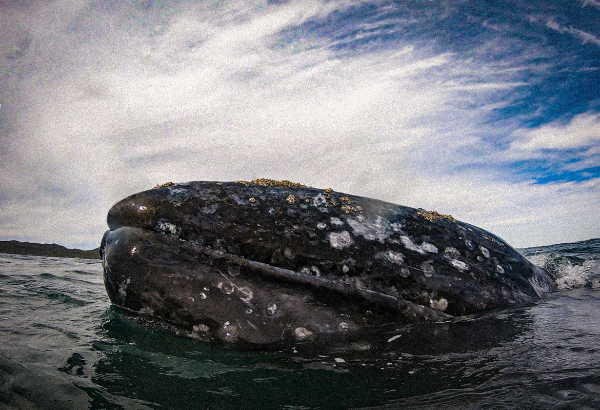 Grey Whale, Whales, Whale, Grey Whales, Baja California, Mexico, Whale Photos, Grey Whale Images