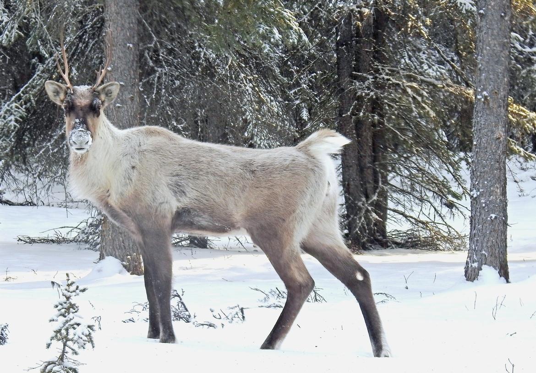 Caribou, Woodland Caribou, Yukon, Canada, Images of Caribou, Caribou Photos