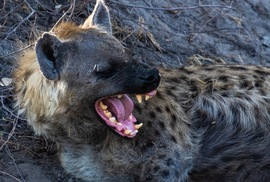 Hyena, Hyenas, Botswana, Moremi Game Reserve, Images of Hyenas, Hyena Photos