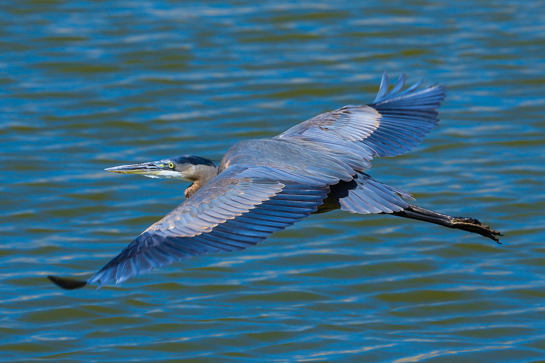 Birds, Heron, Herons, Great Blue Heron, Great Blue Herons, California, Images of Herons, Great Blue Heron Photos