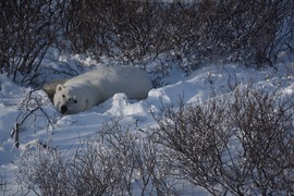 Bears, Polar Bears, Polar Bear. Churchill, Canada, Images of Polar Bears, Polar Bear Photos