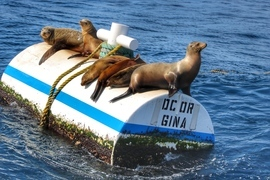 Sea Lions, Channel Islands, California, Sea Lion, Images of Sea Lions, Sea Lion Photos