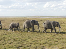 Elephants, Elephant, Kenya, Amboseli Lake, Images of Elephants, Elephant Photos