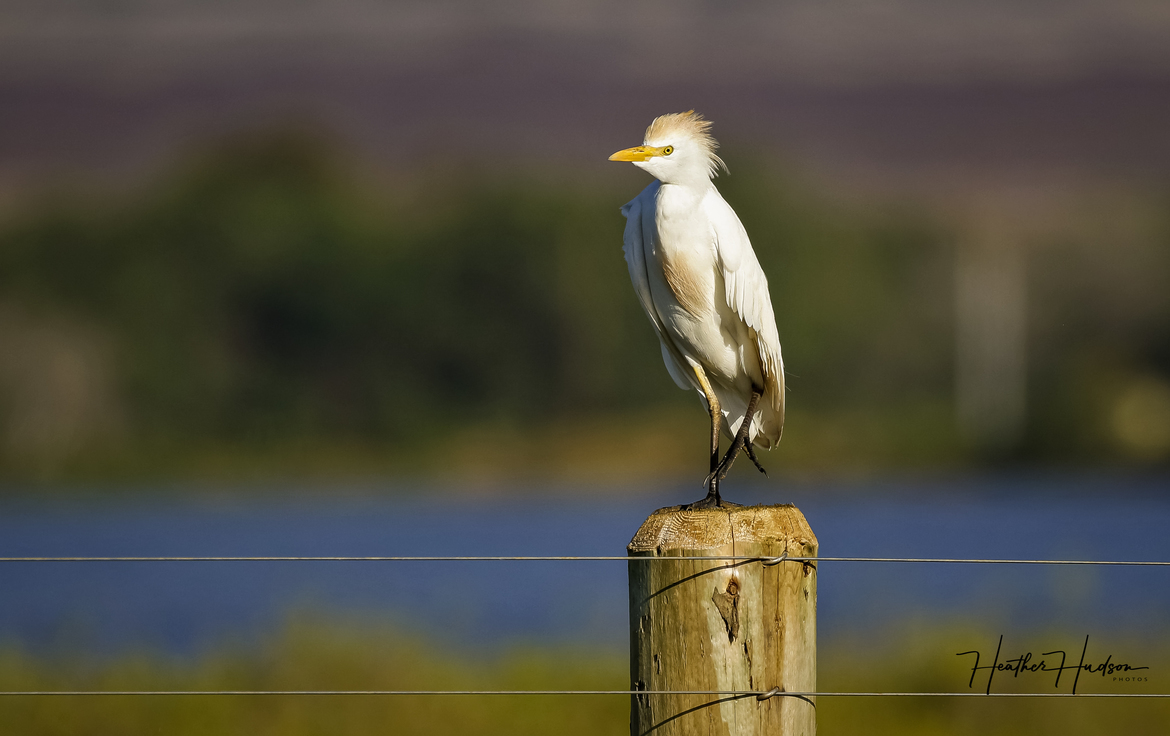 Birding, Hawaii, Egret, Egrets, Photos of Egrets, Egret Images