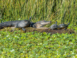 Alligator, Alligators, Florida Chicken Turtle, Florida, Alligator Images, American Alligator